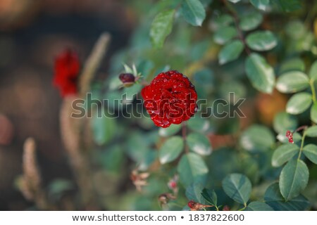 splendid single red rose in bouquet Stock photo © photography33