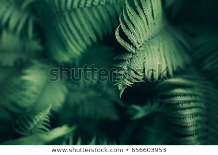 fern close up Stock photo © leungchopan