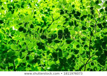 Canopy of green beech leaves Stock photo © sarahdoow
