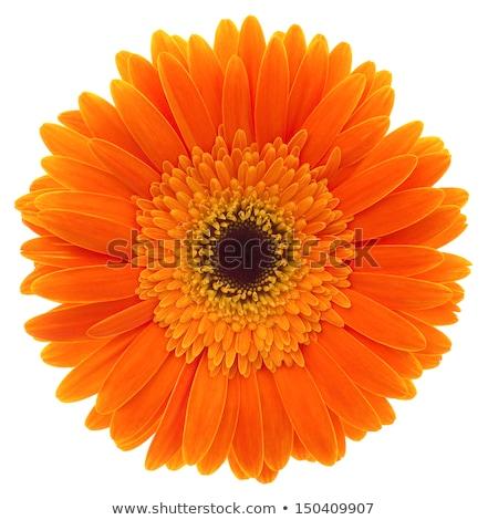 een · oranje · bloem · geïsoleerd · witte - stockfoto © vwalakte
