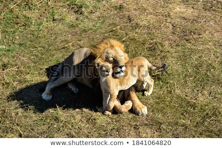 Cute Lion Cub resting with father Stock photo © Donvanstaden