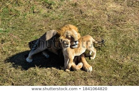 sevimli · aslan · dünya · geri · park - stok fotoğraf © donvanstaden