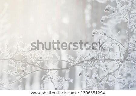 冷ややかな 松 針 カバー 氷 ストックフォト © pancaketom