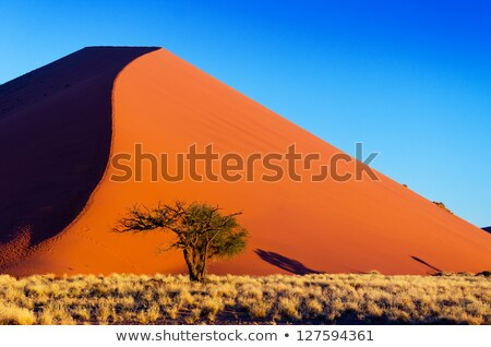 desert landscape with grasses red sand dunes and an african aca stock photo © michaklootwijk