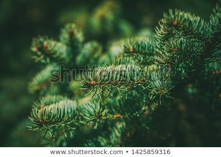 Spruce Stock photo © Stocksnapper