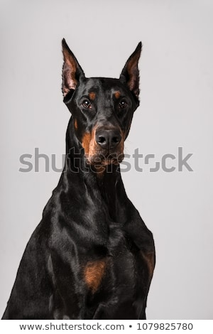 Dobermann portrait stock photo © Ximinez