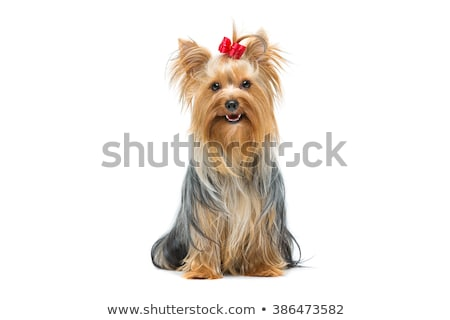 小さな ミニ 犬 見える 外に ウィンドウ ストックフォト © morrbyte