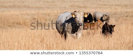 Vegyes szarvasmarha kicsi nyáj fiatal zöld fű Stock fotó © rghenry