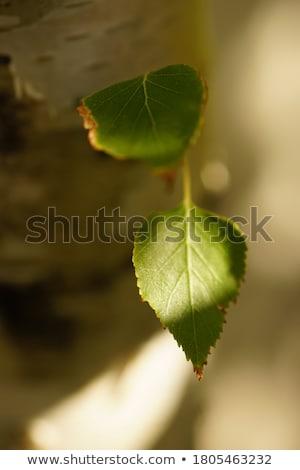 gümüş · huş · ağacı · ağaç · yeşil · yaprakları · orman · güneş - stok fotoğraf © w20er