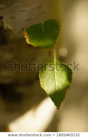 closeup birch trunk in autumn Stock photo © w20er