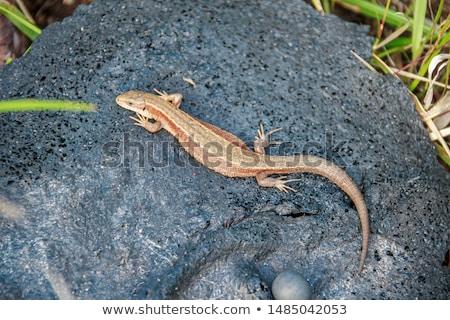 lizard at a rock in tropical area Stock photo © meinzahn