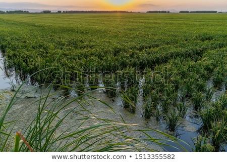 paddy field in the Albufera in Valencia, Spain Stock photo © nito