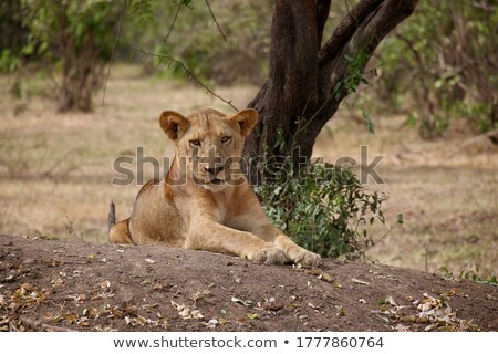 Lion saleté parc Afrique du Sud nature Photo stock © simoneeman