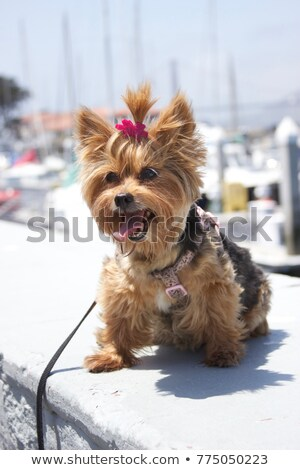 Adorable Yorkshire Terrier Puppies in Red Wagon Stock photo © tobkatrina