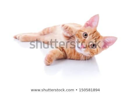 curious orange cat laying down Stock photo © feedough