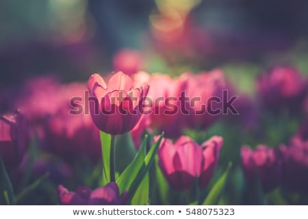 Spring background with tulip growing in garden Stock photo © Virgin