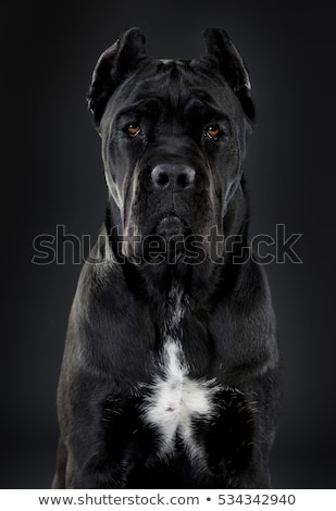 italian mastiff cane corso Stock photo © vladacanon