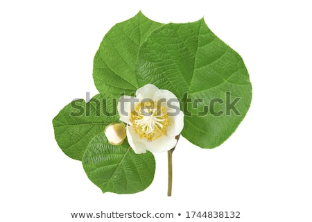 fresh kiwi and leaf Stock photo © M-studio