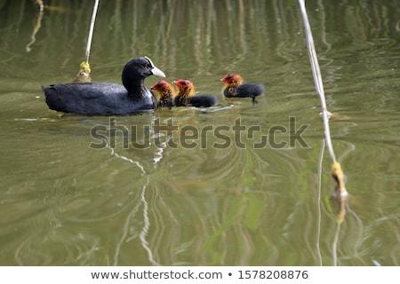 Lid rail vogel familie water groene Stockfoto © lightpoet