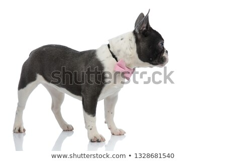 french bulldog looking away wearing a pink bowtie Stock photo © feedough