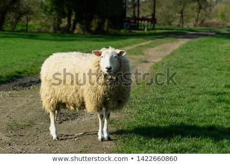 Adult sheep stands in the middle of a farm track in a grassy fie Stock photo © sarahdoow
