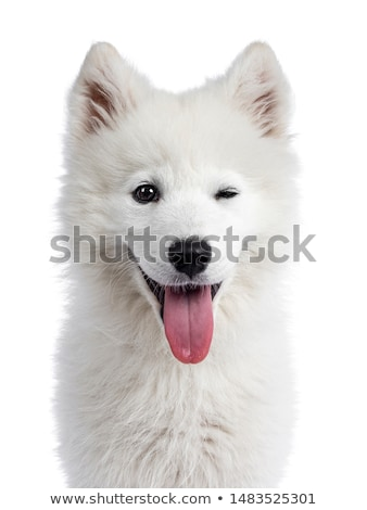 Samojeed puppy on white stock photo © CatchyImages