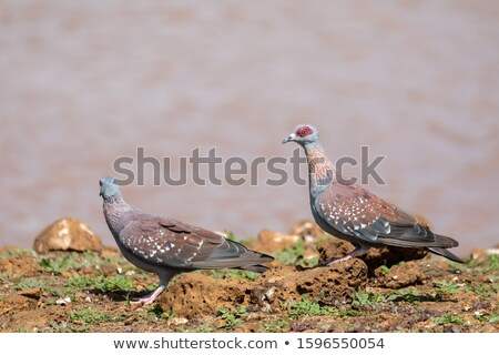speckled pigeon Ethiopia, Africa wildlife Stock photo © artush