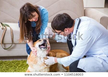 Veterinário médico golden retriever cão casa mulher Foto stock © Elnur