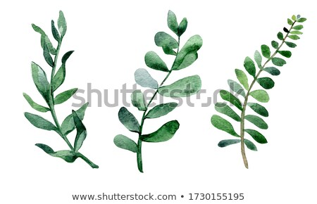Eucalyptus plant with separated leaves from twig. Stock photo © artjazz