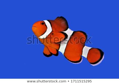рыбы морем оранжевый группа красный жизни Сток-фото © aelice