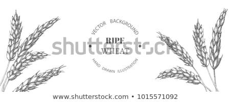 аннотация пшеницы ушки зрелый продовольствие фон Сток-фото © pathakdesigner