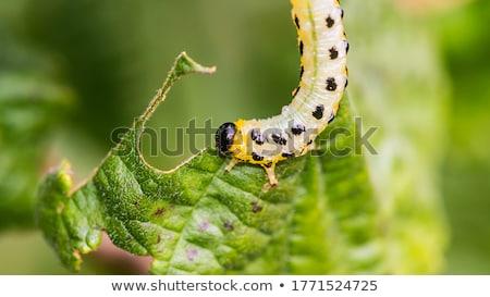 Caterpillar and hazel leaf (Corylus Avellana) Stock photo © haraldmuc