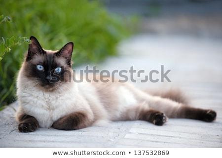 Gato siamés ratón hermosa gato jugar Foto stock © cynoclub