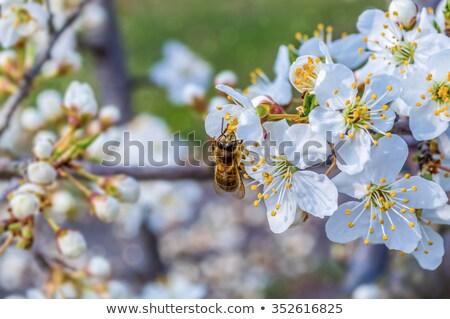 Abeille poire verger abeilles battant autour Photo stock © imarin