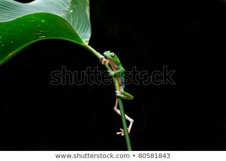 mooie · Blauw · blad · kikker · Costa · Rica · glimlach - stockfoto © MojoJojoFoto