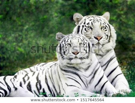 белый тигр глаза зима тропические уха Сток-фото © tungphoto