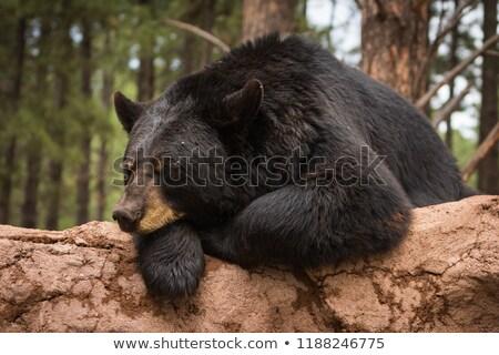 sleeping black bear stock photo © bobkeenan