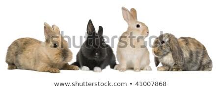 black bunny looks into camera Stock photo © thomaseder