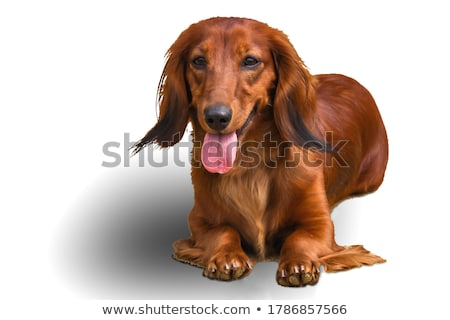 かわいい · 犬 · 黒 · 小さな · 子犬 - ストックフォト © taviphoto