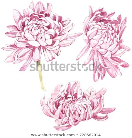 Rózsaszín krizantém vízfesték festmények kecses papír Stock fotó © Marina24Archidea