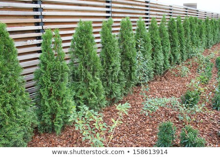 Row of thujas growing near the fence  Stock photo © Virgin