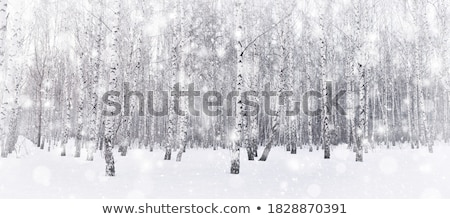 Birches in winter Stock photo © olandsfokus