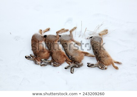 Four hares killed by hunter Stock photo © icefront