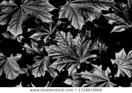 Fraîches vert feuille d'érable modèle rustique Photo stock © ozgur