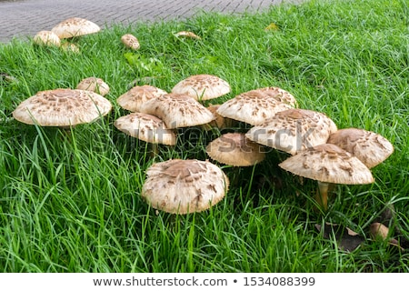 Field mushroom Stock photo © vtls