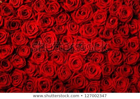 ストックフォト: 赤 · 美しい · バラ · 水滴 · 孤立した