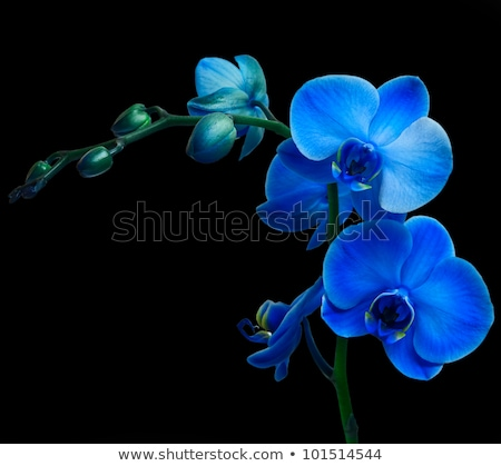 twee · Geel · orchidee · bloemen · geïsoleerd · witte - stockfoto © luissantos84