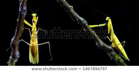 A grey praying mantis Stock photo © bluering