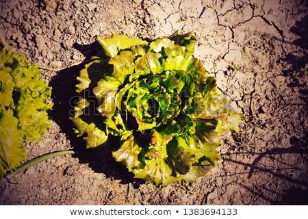 Aszály zöldség kert következmények hosszú ültetvény Stock fotó © Kidza