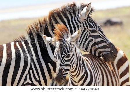 zebra · anya · baba · park · Zambia · természet - stock fotó © simoneeman